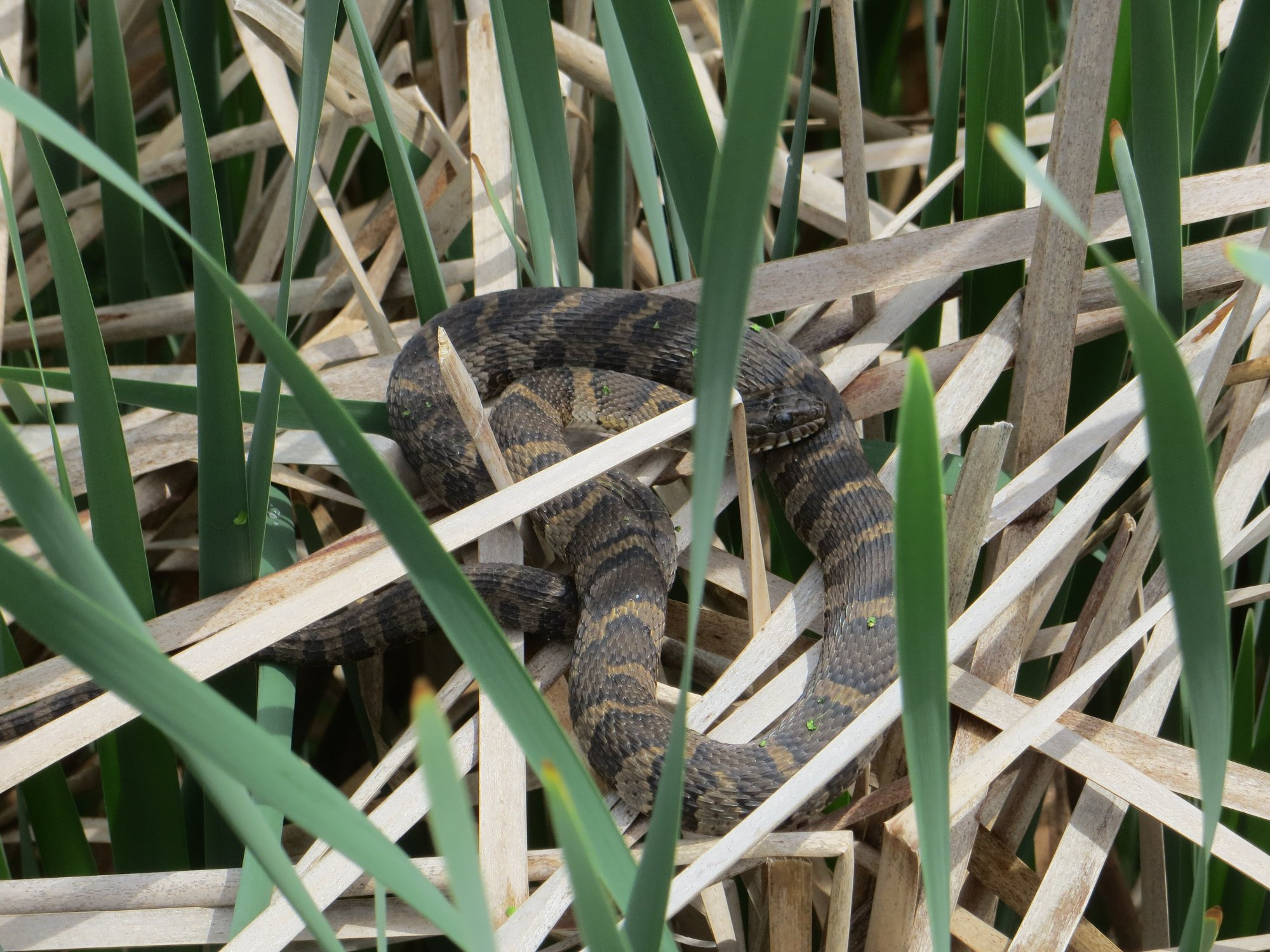 Northern Water Snake (Nerodia sipedon) - Reptiles and ...