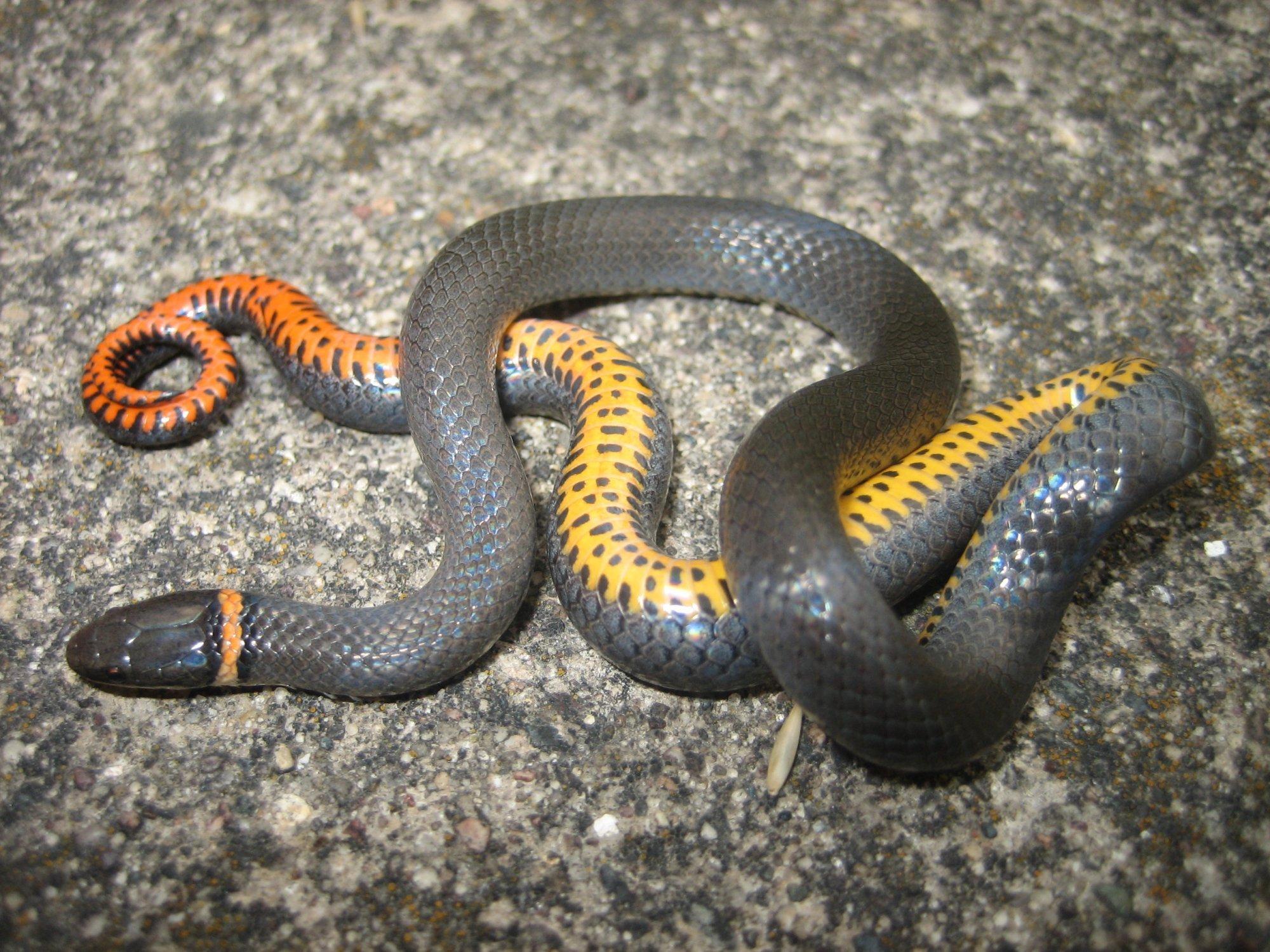 Red Ring Around Neck Snake
