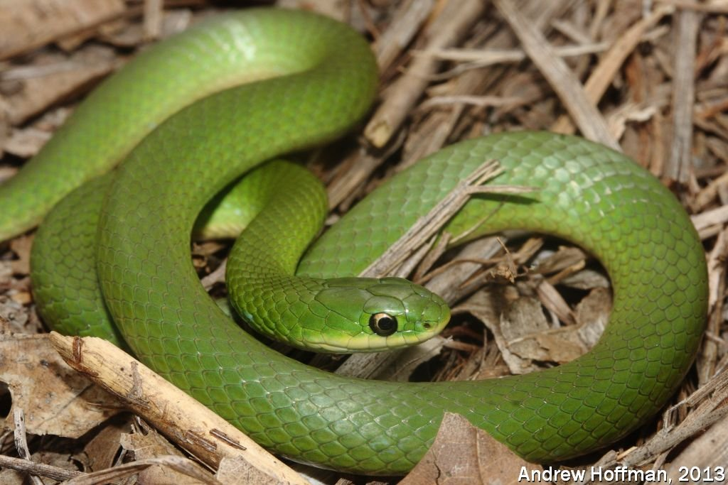 Smooth Green Snake Opheodrys Vernalis Reptiles And