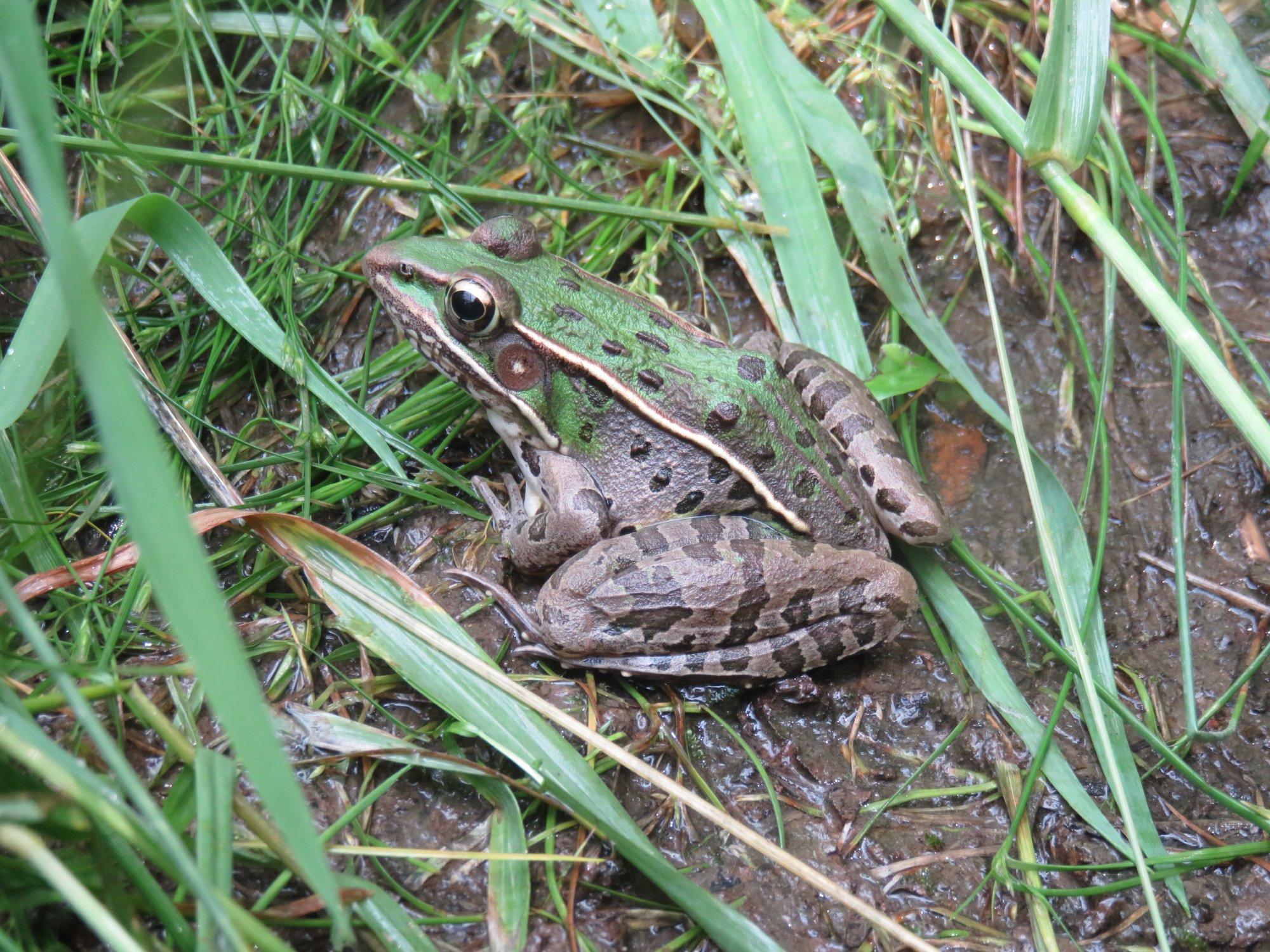 Southern Leopard Frog Lithobates Sphenocephalus