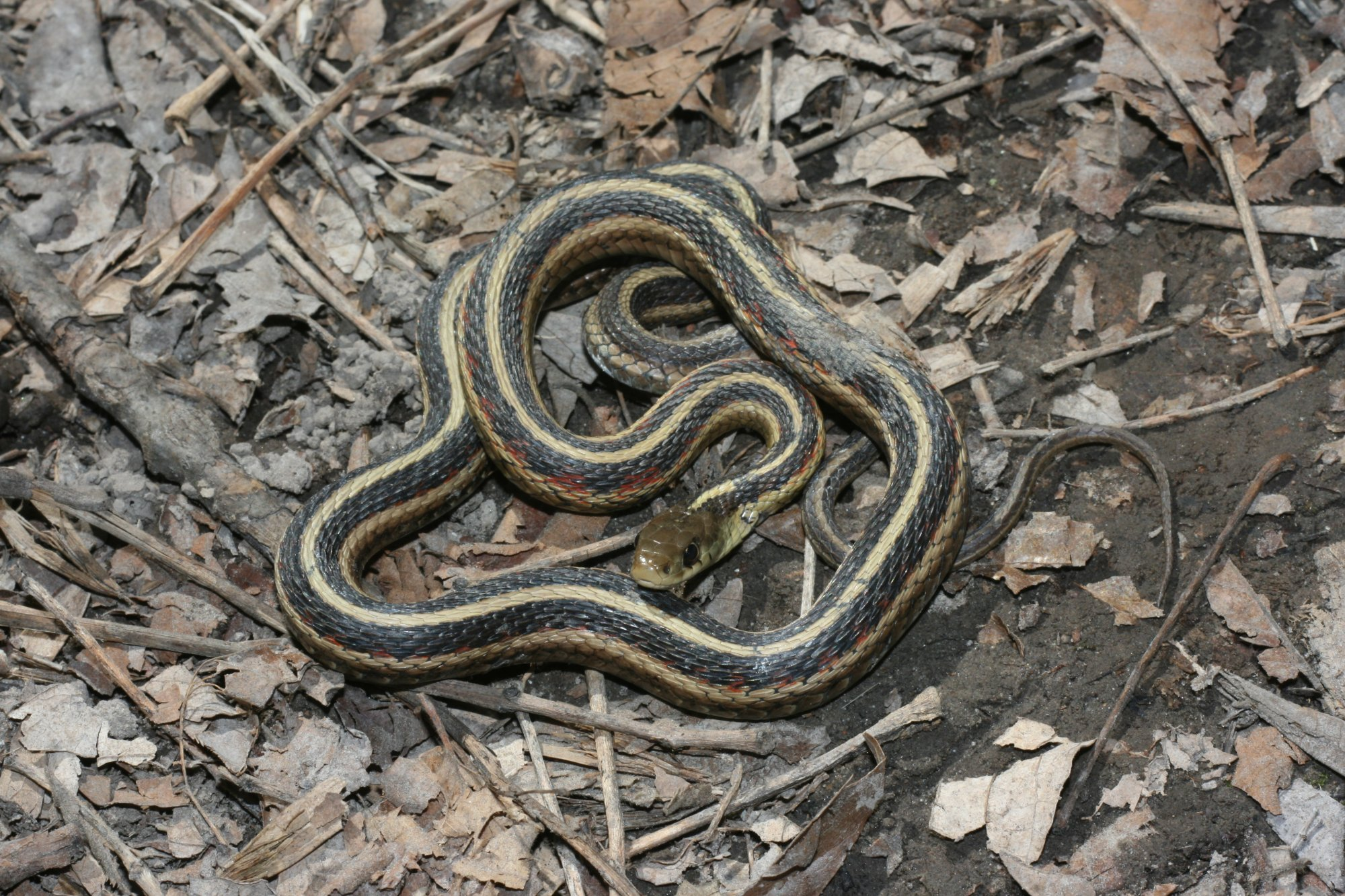 Common Garter Snake (Thamnophis sirtalis) - Reptiles and Amphibians ... 4b9af8172