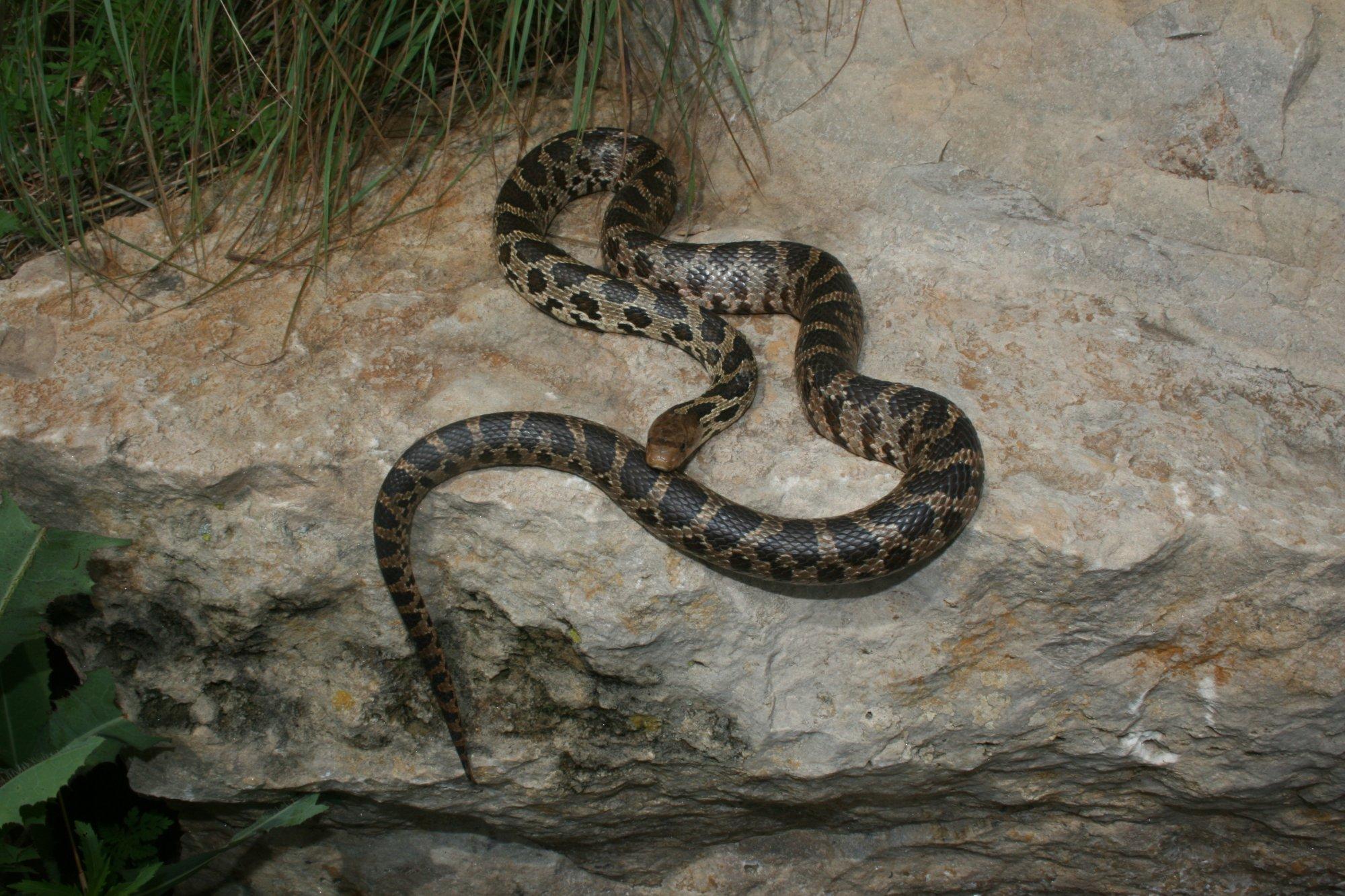 Western Fox Snake Pantherophis Vulpinus Reptiles And